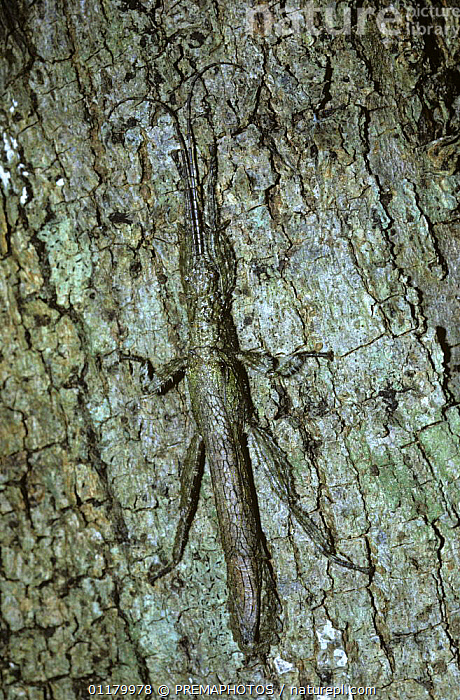 Stick insect/ walkingstick (Prisopus sp) in cryptic daytime resting pose pressed tight against a tree trunk in tropical dry forest, Costa Rica, BARK,CAMOUFLAGE,CENTRAL AMERICA,COSTA RICA,INSECTS,INVERTEBRATES,PHASMIDA,PHASMIDS,VERTICAL,WALKING STICK INSECT,Plants, PREMAPHOTOS