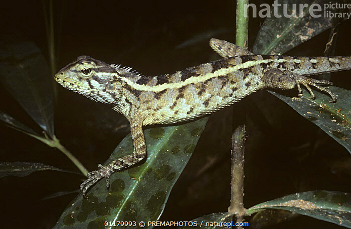 Garden lizard {Calotes versicolor} female on vegetation in tropical dry forest, Sri Lanka, AGAMAS,AGAMIDAE,ASIA,LIZARDS,REPTILES,SRI LANKA,VERTEBRATES, PREMAPHOTOS