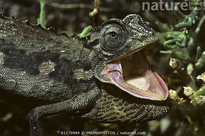 Desert / Namaqualand Chameleon {Chamaeleo namaquensis} hissing defensively, South Africa  ,  AFRICA,BEHAVIOUR,CHAMAELEONIDAE,CHAMELEONS,DEFENSIVE,LIZARDS,MOUTHS,REPTILES,SOUTH AFRICA,SOUTHERN AFRICA,VERTEBRATES,VOCALISATION, Chameleons  ,  PREMAPHOTOS