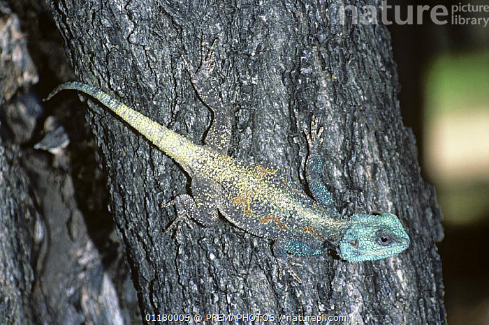 Blue throated / headed Agama lizard {Agama atricollis} male in breeding colours on tree trunk, South Africa, AFRICA, AGAMAS, Agamidae, LIZARDS, MALES, REPTILES, SOUTH-AFRICA, SOUTHERN-AFRICA, VERTEBRATES, PREMAPHOTOS