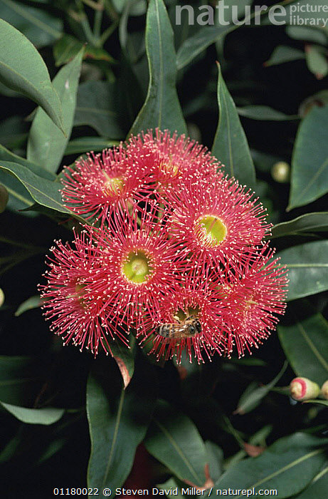 Gum tree flowers {Eucalyptus sp} with bee feeding on the blossom, Melbourne, Australia  ,  AUSTRALIA,DICOTYLEDONS,FLOWERS,HYMENOPTERA,INSECTS,MYRTACEAE,PLANTS,POLLINATION,TREES,Invertebrates  ,  Steven David Miller