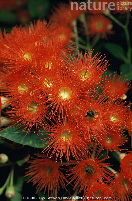 Gum tree flowers {Eucalyptus sp} with bee feeding on the blossom, Melbourne, Australia, AUSTRALIA,DICOTYLEDONS,FLOWERS,HYMENOPTERA,INSECTS,MYRTACEAE,PLANTS,POLLINATION,TREES,Invertebrates, Steven David Miller