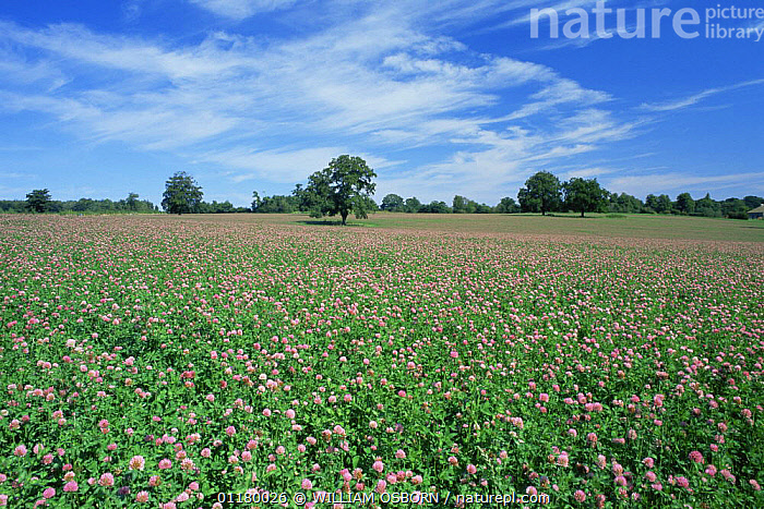 Red clover {Trifolium pratense} being grown for hay crop, Wiltshire, UK, CROPS,DICOTYLEDONS,EUROPE,FABACEAE,FLOWERS,LANDSCAPES,LEGUME,PLANTS,UK,United Kingdom,British, WILLIAM OSBORN