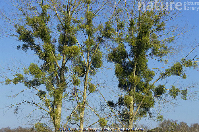 Mistletoe {Viscum album} Germany, DICOTYLEDONS,EUROPE,GERMANY,PARASITIC,PLANTS,TREES,VISCACEAE, Christoph Becker