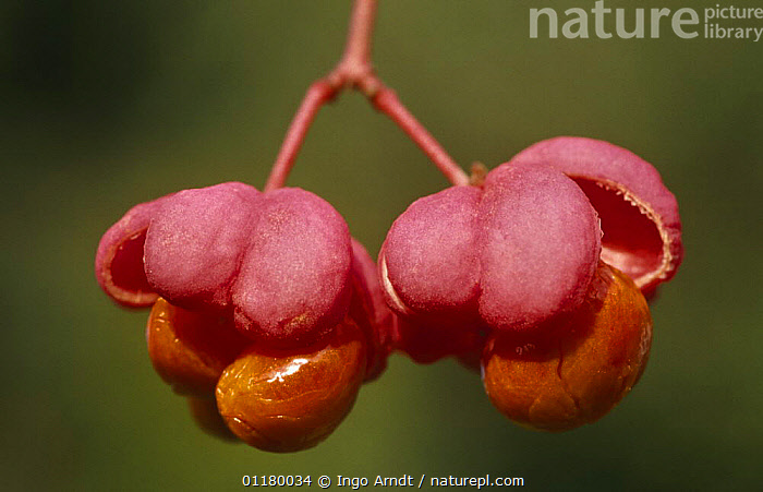 Spindle tree flowers {Euonymus europaeus} Germany, CELASTRACEAE,DICOTYLEDONS,EUROPE,FLOWERS,GERMANY,PINK,PLANTS,RED,TWO, Ingo Arndt