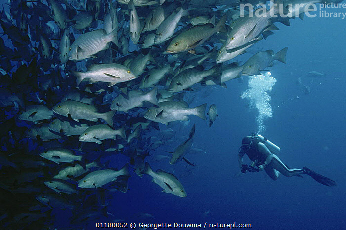 Diver with shoal of Bohar / Twinspot snapper {Lutjanus bohar} Ras Mohammed, Red Sea, Egypt, BLUE PLANET,DIVING,FISH,GROUPS,MARINE,OSTEICHTHYES,PEOPLE,RED SEA,SHOALS,SNAPPERS,TROPICAL,UNDERWATER,VERTEBRATES,NORTH-AFRICA,Africa, Georgette Douwma