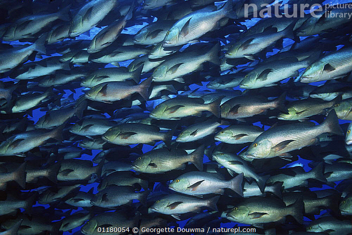 Shoal of Bohar / Twinspot snapper {Lutjanus bohar} Ras Mohammed, Red Sea, Egypt, ARTY,BLUE PLANET,COLOURFUL,FISH,GROUPS,MARINE,OSTEICHTHYES,RED SEA,SHOALS,SNAPPERS,TROPICAL,UNDERWATER,VERTEBRATES,NORTH-AFRICA,Africa,Catalogue1, Georgette Douwma