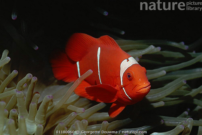 Spine cheeked anemonefish {Premnas biaculeatus} amongst anemone, Banda Is, Moluccas, Indonesia, CORAL REEFS,DAMSELFISH,FISH,MARINE,OSTEICHTHYES,SEA ANEMONE,TROPICAL,UNDERWATER,VERTEBRATES,Asia, Georgette Douwma
