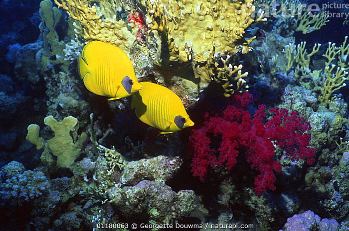 Golden / masked butterflyfish {Chaetodon semilarvatus} on coral reef, Red Sea, Egypt, BLUE PLANET,BUTTERFLYFISH,CORAL REEFS,FISH,LANDSCAPES,MARINE,OSTEICHTHYES,TROPICAL,TWO,UNDERWATER,VERTEBRATES, Georgette Douwma