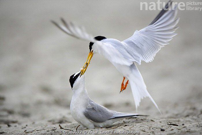 Little Tern (Sternula albifrons) courtship, male offers fish to female, Vistula River, Poland., BIRDS, eating, EUROPE, European, FEEDING, FLYING, food, Nest, Pair, prey, SEABIRDS, TERNS, two, VERTEBRATES, Artur Tabor