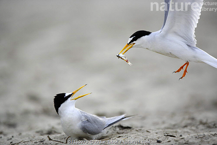 Little Tern (Sternula albifrons) courtship, male flying towards the female with an offer of fish, Vistula River, Poland., BIRDS, eating, EUROPE, European, FEEDING, food, Nest, Pair, prey, SEABIRDS, TERNS, two, VERTEBRATES, Artur Tabor