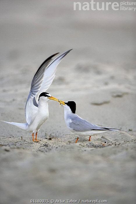 Little Tern (Sternula albifrons) courtship, male displaying to female as he offers her fish, Vistula River, Poland., BIRDS, DISPLAY, eating, EUROPE, European, FEEDING, FLYING, food, Nest, Pair, prey, SEABIRDS, TERNS, two, VERTEBRATES, VERTICAL, WINGS,Communication, Artur Tabor