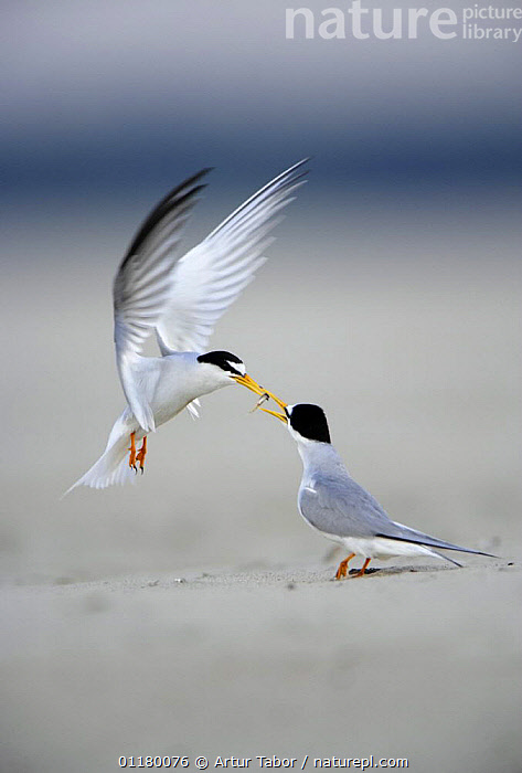 Little Tern (Sternula albifrons) courtship, male displaying to female as he offers her fish, Vistula River, Poland.  ,  BIRDS, DISPLAY, eating, EUROPE, European, FEEDING, FLYING, food, Nest, Pair, prey, SEABIRDS, TERNS, two, VERTEBRATES, VERTICAL, WINGS,Communication  ,  Artur Tabor