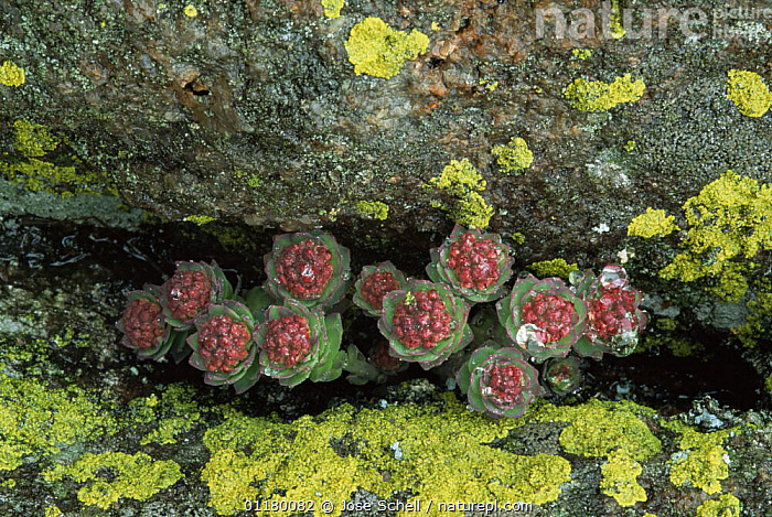 Roseroot {Sedum rosea} growing in rock cleft, St Mary's Is, Quebec, Canada, CANADA, COASTS, CRASSULACEAE, DICOTYLEDONS, FLOWERS, LICHEN, north america, PLANTS, SUCCULENT, Jose Schell