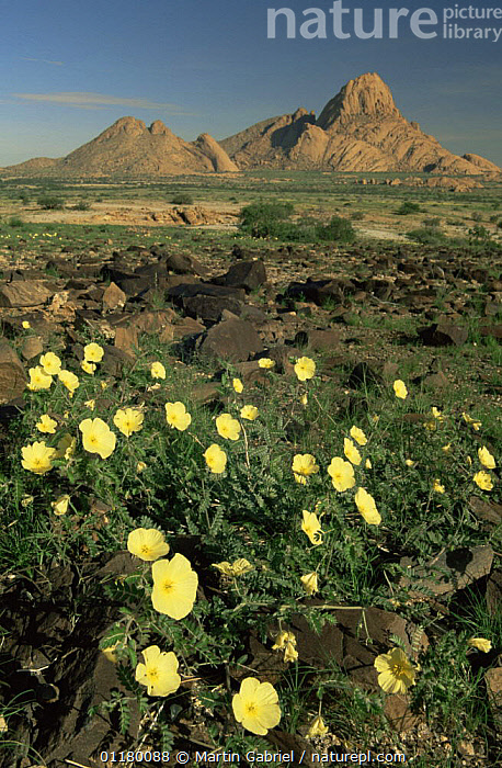 Spitzkoppe, Namibia, with Devil's thorn {Tribulus sp} flowering in the foreground in the wet season, DESERTS,FLOWERS,LANDSCAPES,PLANTS,SOUTHERN AFRICA,VERTICAL,WET SEASON, Martin Gabriel
