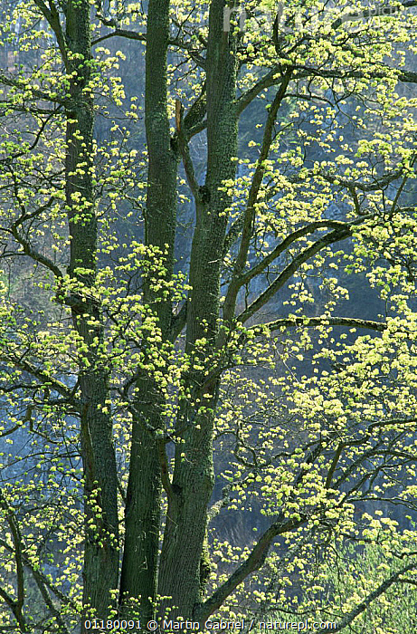 Sycamore tree {Acer pseudoplatanus} new leaves in spring, Bavaria, Germany, ACERACEAE,DICOTYLEDONS,EUROPE,LEAVES,PLANTS,TREES,VERTICAL, Martin Gabriel