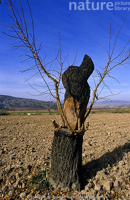Almond tree {Prunus dulcis} stem recently grafted on to root, Alicante, Spain, DICOTYLEDONS,EUROPE,GRAFT,GRAFTING,HORTICULTURE,ORCHARD,PLANTS,ROSACEAE,SPAIN,TREATMENT,TREES,TRUNKS,VERTICAL, Jose B. Ruiz
