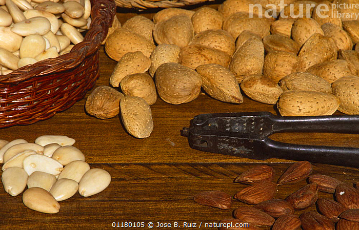 Almond nuts {Prunus dulcis} in shell, cracked with skin on, peeled in a basket and on the table with nutcracker, Alicante, Spain, DICOTYLEDONS,EDIBLE,EUROPE,FOOD,FRUIT,NUT,PLANTS,ROSACEAE,SEEDS,SPAIN, Jose B. Ruiz