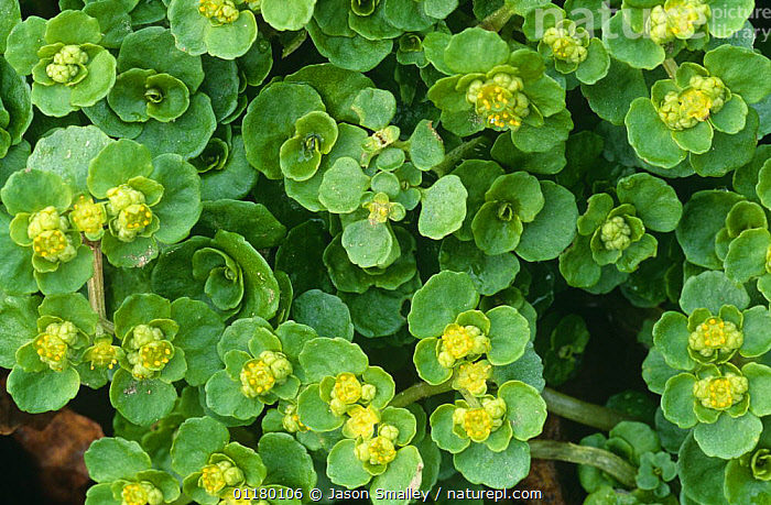Golden saxifrage {Chrysosplenium oppositifolium} in flower, Lancashire, UK, DICOTYLEDONS,ENGLAND,EUROPE,FLOWERS,GREEN,PLANTS,SAXIFRAGACEAE,UK,United Kingdom,British, Jason Smalley