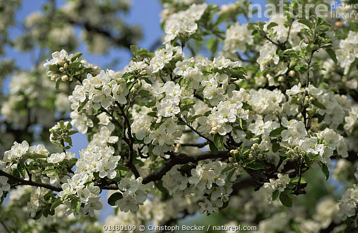 Blossom on Apple tree {Malus sp} Germany, DICOTYLEDONS,EUROPE,FLOWERS,GERMANY,PLANTS,ROSACEAE, Christoph Becker