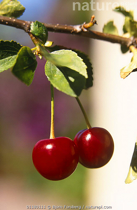 Cherries on Cherry tree {Prunus cerasus} Sweden, BERRIES,CROPS,DICOTYLEDONS,EDIBLE,FRUIT,PLANTS,RED,ROSACEAE,SCANDINAVIA,SWEDEN,TWO,VERTICAL,Europe, Bjorn Forsberg