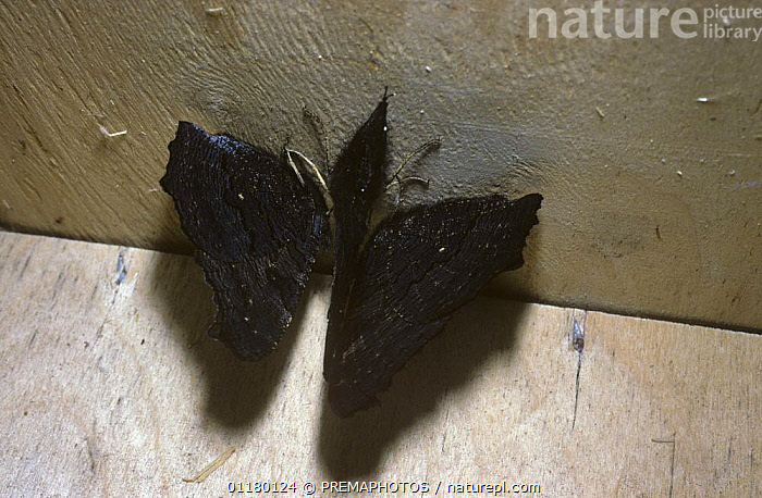 Three Peacock butterflies {Inachis io} hibernating in corner of shed, UK, ARTHROPODS,BUTTERFLIES,BUTTERFLY,EUROPE,GROUPS,HIBERNATION,INSECTS,INVERTEBRATES,LEPIDOPTERA,NYMPHALIDAE,UK,United Kingdom,British, PREMAPHOTOS