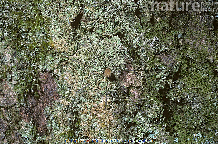 Wire-legged harvestman {Leiobunum rotundum} male on lichen-covered tree, UK, ARACHNIDS,ARTHROPODS,CAMOUFLAGE,CRYPTIC,EUROPE,HARVESTMEN,INVERTEBRATES,OPILIONES,PHALANGIIDAE,UK,United Kingdom,British, PREMAPHOTOS