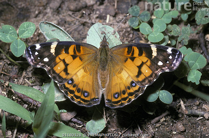 American painted lady butterfly {Vanessa virginiensis} South Carolina, USA, BUTTERFLIES,INSECTS,INVERTEBRATES,LEPIDOPTERA,NORTH AMERICA,NYMPHALIDAE,USA, PREMAPHOTOS