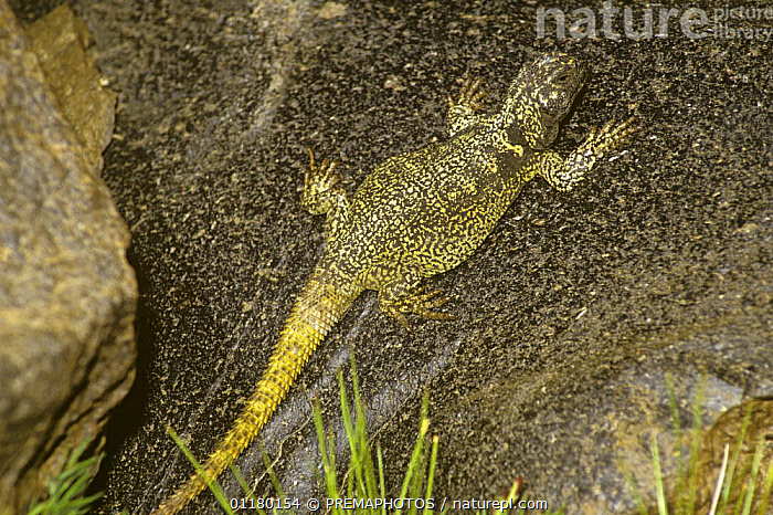 Eight Gold-speckled lava lizard {Phymaturus pulluma}  basking on lava, Andes, Chile, chile, Iguanidae, LAVA LIZARDS, REPTILES, SOUTH-AMERICA, VERTEBRATES,Lizards, PREMAPHOTOS