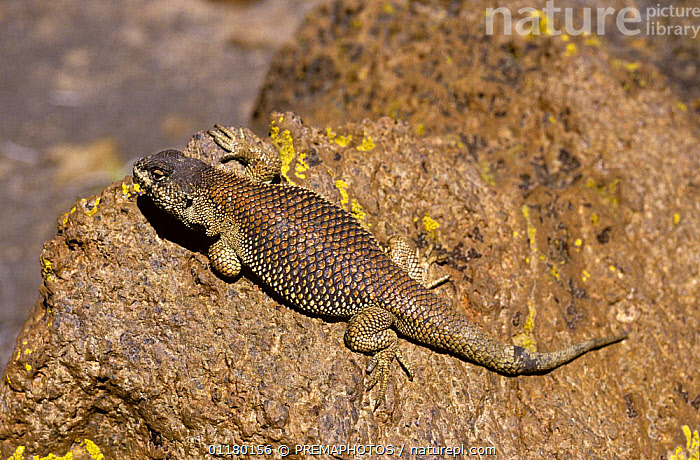 Lava lizard {Liolaemus multiformis} basking on Andean altiplano at 4300m, Chile, CHILE,IGUANID LIZARDS,IGUANIDAE,REPTILES,SOUTH AMERICA,THERMOREGULATION,VERTEBRATES,Lizards, PREMAPHOTOS