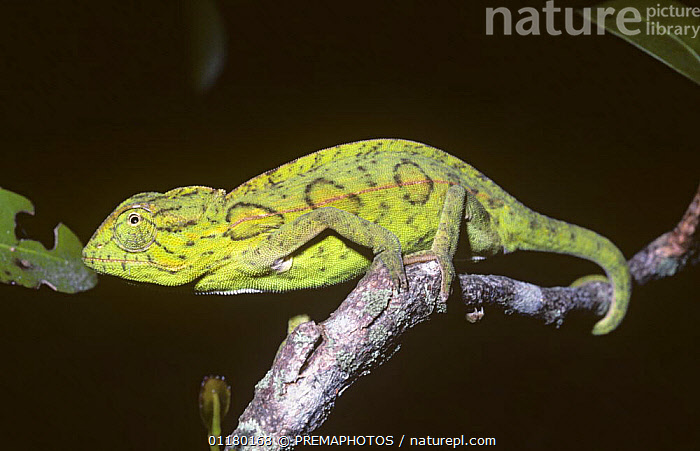 Variable / Carpet chameleon {Furcifer lateralis} in rainforest, Madagascar, CHAMAELEONIDAE,CHAMELEONS,LIZARDS,MADAGASCAR,PROFILE,REPTILES,VERTEBRATES, Chameleons, PREMAPHOTOS