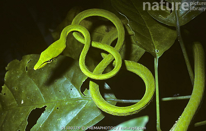 Long-nosed whip / tree snake {Ahaetulla prasina} in tree in rainforest, Sulawesi, ASIA,CAMOUFLAGE,COLUBRIDAE,COLUBRIDS,GREEN,INDONESIA,REPTILES,SNAKES,SOUTH EAST ASIA,TROPICAL RAINFOREST,VERTEBRATES, PREMAPHOTOS