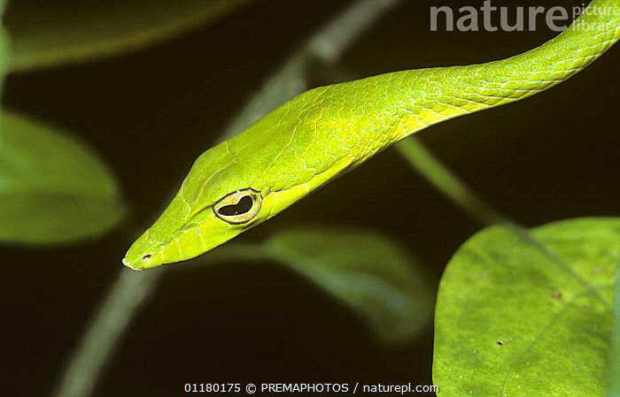 Long nosed whip / tree snake {Ahaetulla prasina} head profile, Sulawesi  ,  ASIA,CAMOUFLAGE,COLUBRIDAE,COLUBRIDS,GREEN,HEADS,INDONESIA,PORTRAITS,PROFILE,REPTILES,SNAKES,SOUTH EAST ASIA,VERTEBRATES  ,  PREMAPHOTOS