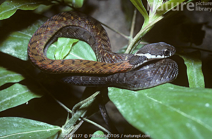 Spotted / Speckled bellied keelback snake {Rhabdophis chrysargus} juvenile on vegetation at night, in rainforest, Thailand, ASIA, Colubridae, COLUBRIDS, REPTILES, SNAKES, South East Asia, thailand, VERTEBRATES, PREMAPHOTOS