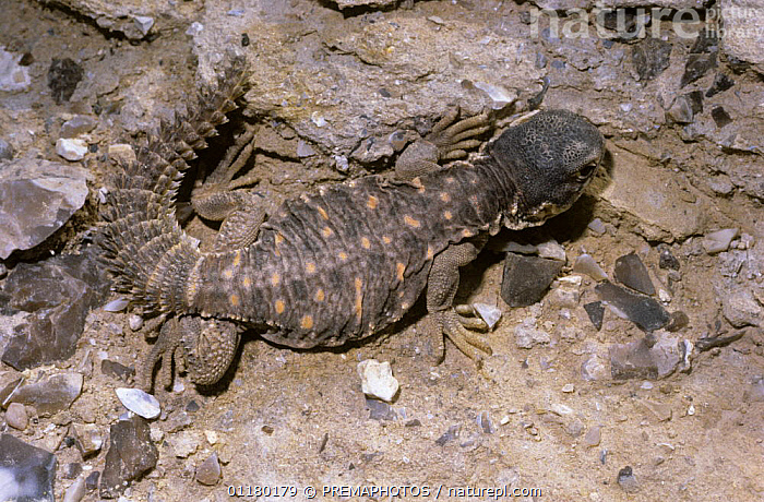Egyptian spiny-tailed lizard {Uromastix aegypticus} baby in desert, Israel, AGAMAS, Agamidae, DESERTS, israel, JUVENILE, LIZARDS, middle east, REPTILES, VERTEBRATES, young, PREMAPHOTOS