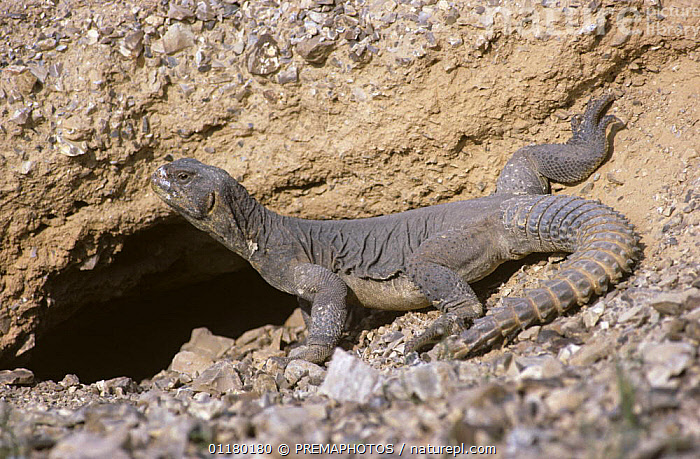 Egyptian spiny lizard {Uromastix aegypticus} basking next to its hole in desert, Israel, AGAMAS, Agamidae, DESERTS, israel, LIZARDS, middle east, REPTILES, THERMOREGULATION, VERTEBRATES, PREMAPHOTOS