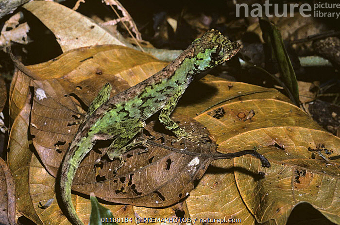Anole lizard {Anolis capito} camouflaged amongst dead leaves on rainforest floor, Costa Rica  ,  ANOLE LIZARDS,COSTA RICA,IGUANIDAE,LIZARDS,REPTILES,SOUTH AMERICA,TROPICAL RAINFOREST,VERTEBRATES, Anoles  ,  PREMAPHOTOS