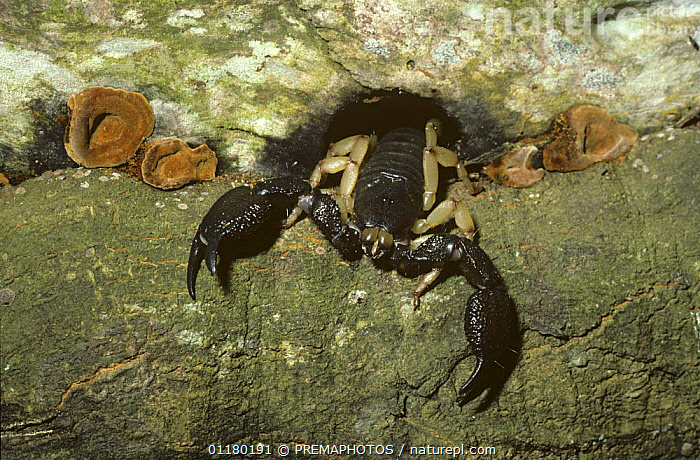 Scorpion (Pandinus sp.) waiting at night for prey to pass its lair in a tree in forest, South Africa, ARACHNIDA,ARACHNIDS,CLAWS,INVERTEBRATES,SCORPIONIDAE,SCORPIONS,SOUTHERN AFRICA, PREMAPHOTOS