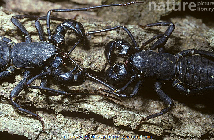 Tailed whip-scorpion (Uropygi), pair courting at night in rainforest, Sulawesi, ARACHNIDS,ARTHROPODS,ASIA,INVERTEBRATES,MALE FEMALE PAIR,SOUTH EAST ASIA,TROPICAL RAINFOREST,WHIP SCORPIONS, PREMAPHOTOS