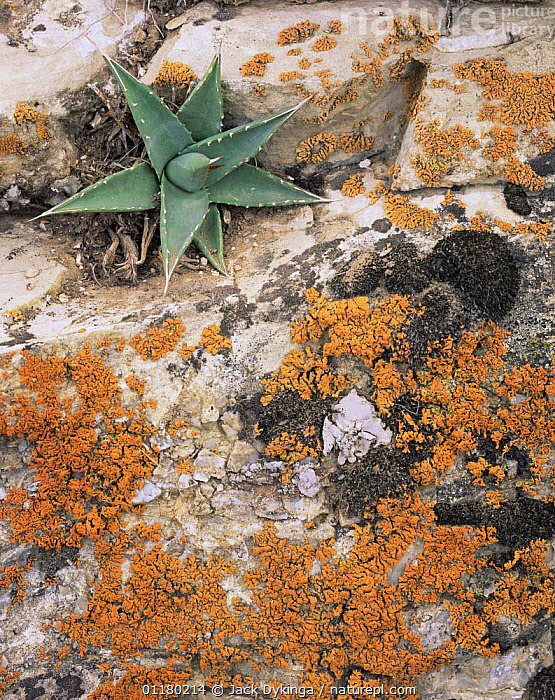 Orange Lichen and Agave (Agave utahensis) on trailside rim rock, South Bass Trail, Grand Canyon NP, Arizona, USA, LANDSCAPES,LICHEN,north america,NORTH AMERICA,PLANTS,RESERVE,ROCKS,USA,VERTICAL, Jack Dykinga