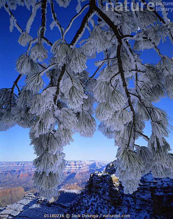 Snow covered Ponderosa Pine (Pinus ponderosa) branches with North Rim in the Background, Grand Canyon NP, Arizona, USA, BRANCHES,canyons,CONIFEROUS,LANDSCAPES,north america,NORTH AMERICA,RESERVE,ROCK FORMATIONS,ROCKS,SNOW,TREES,USA,valleys,VERTICAL,Geology,Plants,Catalogue1, Jack Dykinga