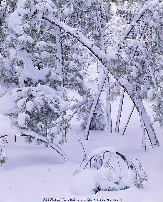 Snow covered Ponderosa Pines (Pinus ponderosa) bowed over after a blizzard, Grand Canyon NP, Arizona, USA, ATMOSPHERIC,BRANCHES,CONIFEROUS,FORESTS,LANDSCAPES,north america,NORTH AMERICA,RESERVE,SNOW,TREES,USA,VERTICAL,WOODLANDS,Plants, Jack Dykinga