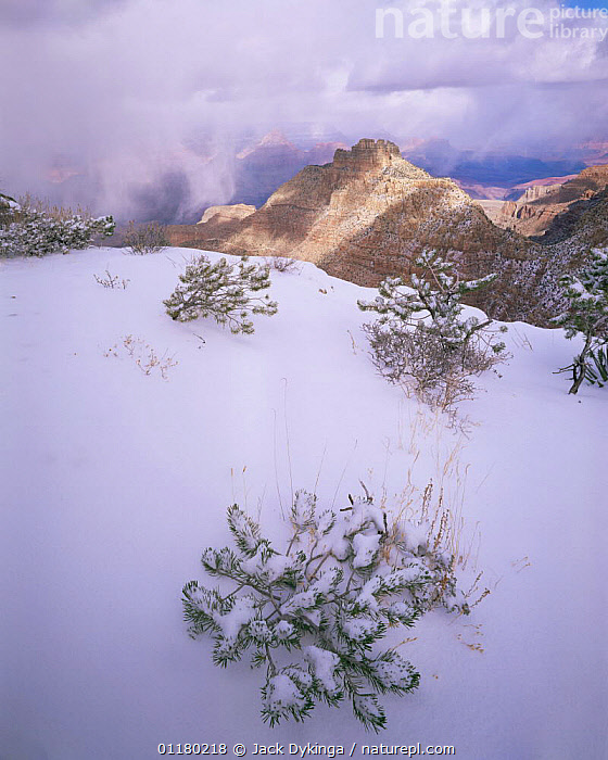 Snow covered Pinyon Pine (Pinus edulus) saplings buried in new snow with snow storm and canyon in the background, Grand Canyon NP, Arizona, USA, canyons,CLOUDS,CONIFEROUS,LANDSCAPES,north america,NORTH AMERICA,RESERVE,saplings,SNOW,STORMS,TREES,USA,VERTICAL,Weather,Plants, Jack Dykinga