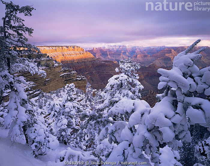 Snow covered Pinyon Pines (Pinus edulus) overlooking Shoshone Point at sunrise, East Rim, Grand Canyon NP, Arizona, USA, canyons,CLOUDS,CONIFEROUS,DAWN,LANDSCAPES,north america,NORTH AMERICA,RESERVE,ROCK FORMATIONS,SNOW,SUNRISE,TREES,USA,valleys,Weather,Geology,Plants, Jack Dykinga