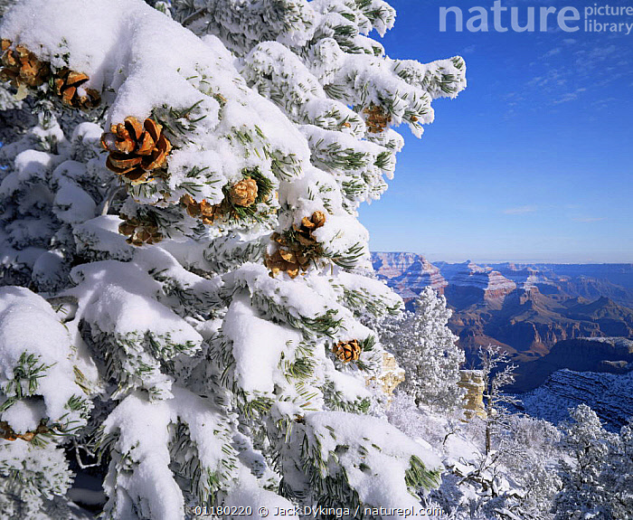 Snow covered Pinyon Pines (Pinus edulus) with pine cones, overlooking the West Rim, Grandview Point, Grand Canyon NP, Arizona, USA, canyons,CONIFEROUS,LANDSCAPES,north america,NORTH AMERICA,pine cones,RESERVE,ROCK FORMATIONS,SNOW,TREES,USA,Geology,Plants,Catalogue1, Jack Dykinga