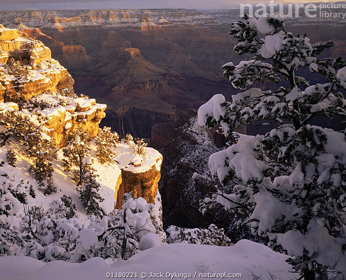Snow covered Pinyon Pines (Pinus edulus) overlooking the East Rim Drive, Grand Canyon NP, Arizona, USA  ,  canyons,CONIFEROUS,LANDSCAPES,north america,NORTH AMERICA,RESERVE,ROCK FORMATIONS,SNOW,TREES,USA,valleys,Geology,Plants  ,  Jack Dykinga