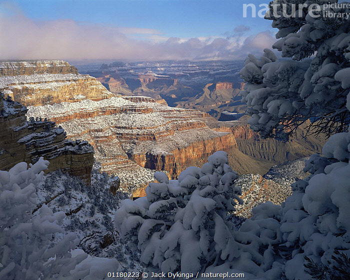 Snow covered Pinyon Pines (Pinus edulis) overlooking the Grand Canyon, East Rim Drive, Grand Canyon NP, Arizona, USA, canyons,CLOUDS,CONIFEROUS,LANDSCAPES,north america,NORTH AMERICA,RESERVE,ROCK FORMATIONS,SNOW,TREES,USA,valleys,Weather,Geology,Plants, Jack Dykinga