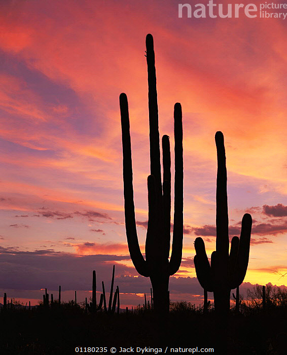 Saguaro Cacti (Carnegiea gigantea) silhouetted at sunset in the Tucson Mountains West unit, Saguaro NP, Arizona, USA, ATMOSPHERIC,CACTI,CACTUS,DESERTS,DUSK,LANDSCAPES,north america,NORTH AMERICA,PLANTS,RESERVE,SILHOUETTES,SUNSET,USA,VERTICAL, Jack Dykinga