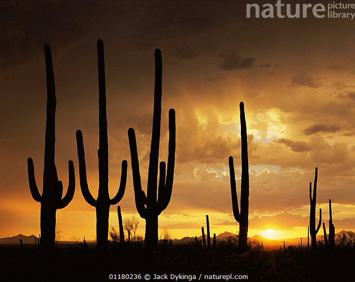 Saguaro Cacti (Carnegiea gigantea) silhouetted against the sunset in the Silver Bell Mountains, Saguaro NP, Arizona, USA, ATMOSPHERIC,CACTI,CACTUS,CLOUDS,DESERTS,DRAMATIC,DUSK,LANDSCAPES,MOUNTAINS,NORTH AMERICA,NORTH AMERICA,PLANTS,RESERVE,SILHOUETTES,SKIES,SUNSET,USA,Weather, Jack Dykinga