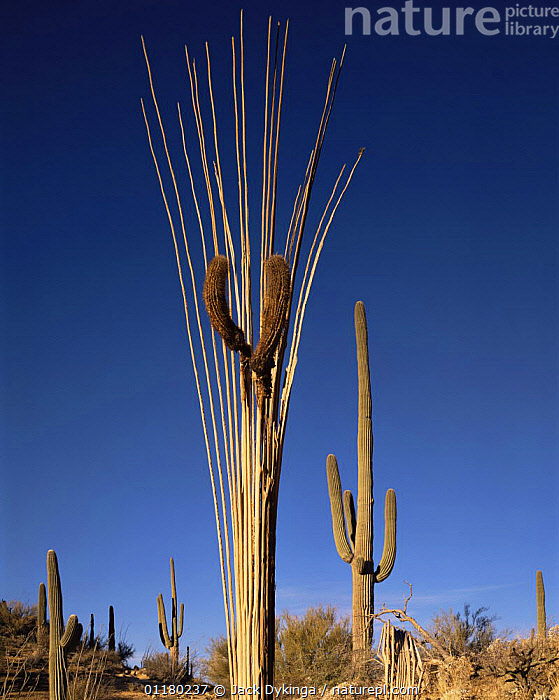 "Dead Saguaro Cactus (Carnegiea gigantea) ribs with ""arms"" still in place, Sonoran Desert, Saguaro National Monument, Arizona, USA, CACTI,CACTUS,DESERTS,LANDSCAPES,north america,NORTH AMERICA,PLANTS,RESERVE,SHRUBS,USA,VERTICAL, Jack Dykinga"